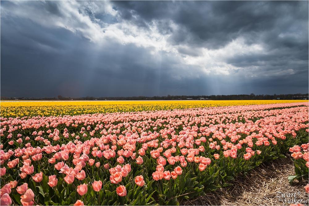 Limmen-tulpen-8298
